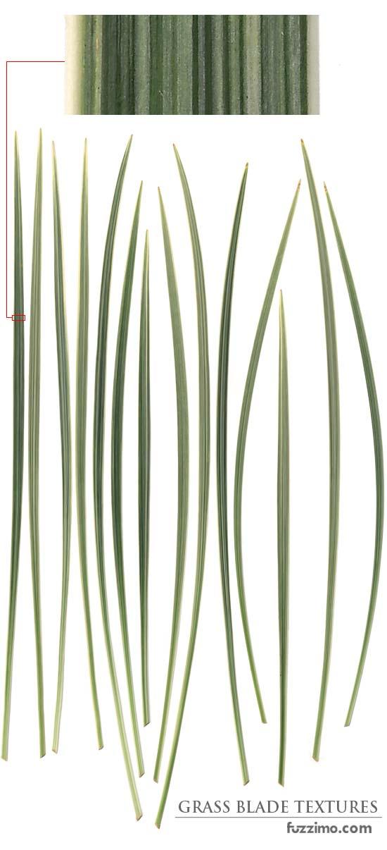 fzm-Ornamental-Grass-Blade-Texture-02
